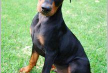 German Pinscher / Pinscher dogs!