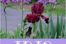 How to divide Iris's with high success rate