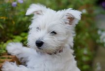 Westies and other dogs