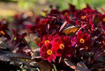 Primulas / Primulas - acaulis and polyanthus types