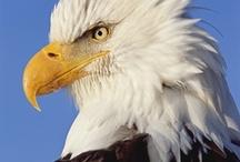 bald eagle / by Staci Kasper
