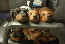 I love my dachshund <3 / by Lori Schoch-Mann