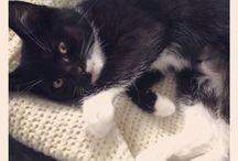 Miss Ginza Tuxedo Kitten  / Black and White Tuxedo Kitten