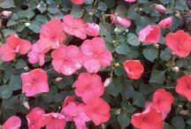 Pereira, flowers / Flowers
