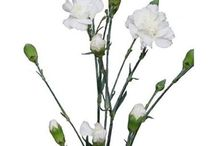 Spray Carnations / Different varieties of fresh cut Spray Carnations specifically grown for the wholesale flower trade. Often known as Spray Dianthus.