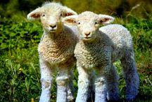 Báránykás