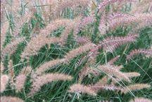 Ornamental Grasses ~ Gardening Plants / by Becky Brewer