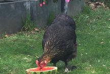 #backyard chickens / Maran hens gardening permaculture