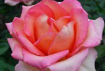 More Beautiful Flowers ~ Roses
