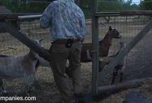 livestock, animal husbandry