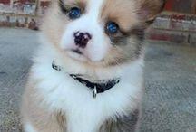 najkrajši psik