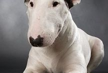 English Bull Terrier / A selection of some wonderful English Bull Terriers.