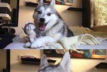 pun  husky