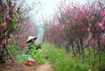 Peach flowers and kumquat trees beautify Hanoi streets / Once A Year Go Some Place You've never been before. Before the lunar new year The weather is so warm  While peach trees are widely blossoming early.