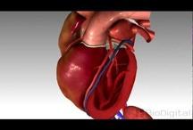 Dem Bones / Anatomy, hearts & echocardiography!