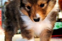 Sheltie / by Maggie Grooms