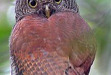 Baykuş / Owl