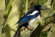 Magpie *Shiny* Magpie / Anything Magpie :)