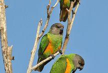 pappagalli del senegal