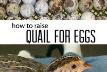 quail stuff