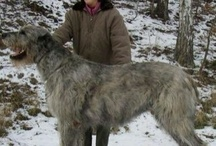 Irsk ulvehund