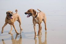 Our Rhodesian Ridgebacks / Our darlings Poppy and Hector