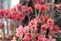 Bloem amaryllis