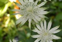 Astrantia / Astrantias that I grow in the Gardensweekly patch in Warsash Hampshire England UK
