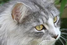 Maine Coon - Black Silver Blotched & White / #MaineCoon #Black #Silver #Blotched #White #Cats