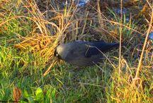 Choucas des tours -Jackdaw - Corvus monedula / Pics by Thomas Humbert.  Dossier contenant mes photos.