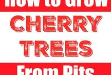 cherry trees from pips