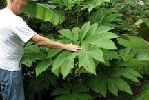 Hardy tropical plants for zone 8 or warmer