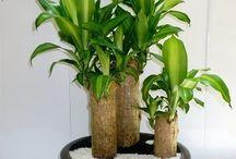 plantas cada