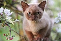 Burmese cat and kitten