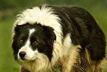Border Collies / All kinds of BC's