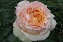 Garden: Roses, Ranunculus, Peonies & Poppies / by Royce M. Becker