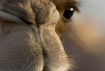 Camels / My favourite animal!