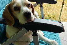 Beagle / Onze Sammie