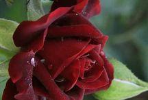 Güller Bahçesi