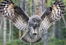 For the Birds / Amazing pictures of Birds-  Hawks, Eagles, Owls, Ducks, Songbirds and more colorful feathered friends.
