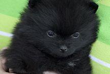 Pomeranian Puppy Love / by Estella Bree