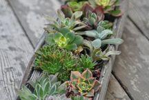 SUCCULENTS / Re-plantable table arrangements