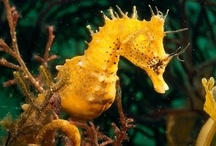 "The Beautiful ""Seahorse"" / Seahorse in the wild / by Debra Galarneau"