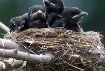 corbeaux, corneilles, crows