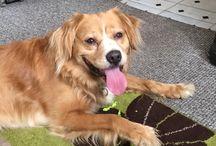 Golden retriever cross staffordshire bull terrier