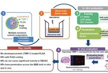 PLGA nanoparticles for protein delivery across BBB / Aim: The aim of this study was to develop poly(lactic-co-glycolic acid) (PLGA) nanoparticles (NPs) for delivery of a protein – tissue inhibitor of matrix metalloproteinases 1 (TIMP-1) – across the blood–brain barrier (BBB) to inhibit deleterious matrix metalloproteinases (MMPs).  Read this original research and sign up to receive International Journal of Nanomedicine here: http://www.dovepress.com/tissue-inhibitor-of-matrix-metalloproteinases-1-loaded-polylactic-co-g-peer-reviewed-article