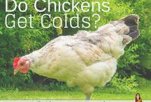 Chickens and chook pens