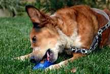 Edible Dog Chews / There's more to life than bully sticks and rawhides! Here's our favorite edible chews.