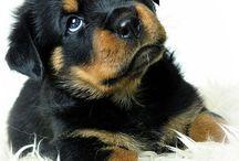 Rottweiler / Dogs