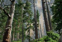Pinewood tree